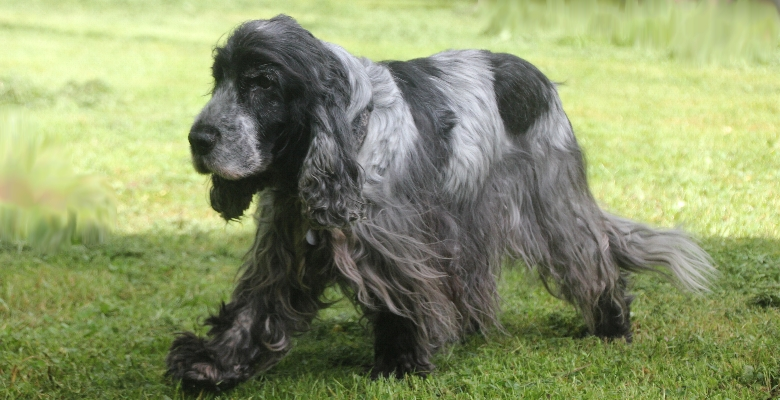 English Cocker Spaniels vom Hohenzollernblick